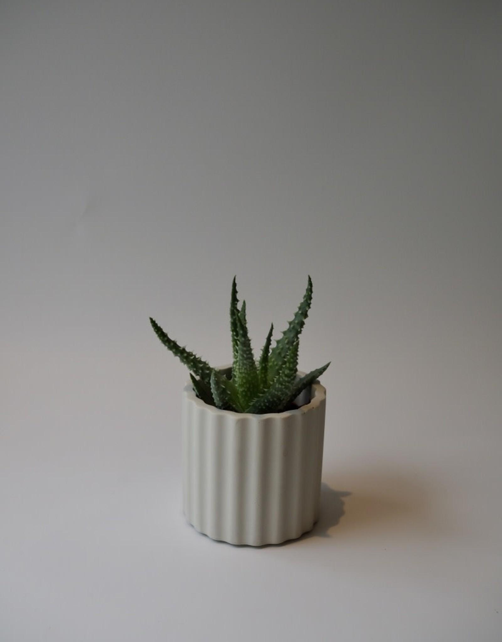 GRUUN Aloe humilis ∅5 h8