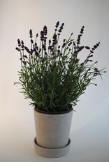 GRUUN Lavandula angustifolia Ø13 h30