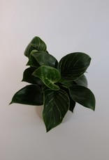 GRUUN Philodendron Birkin Ø9 h25