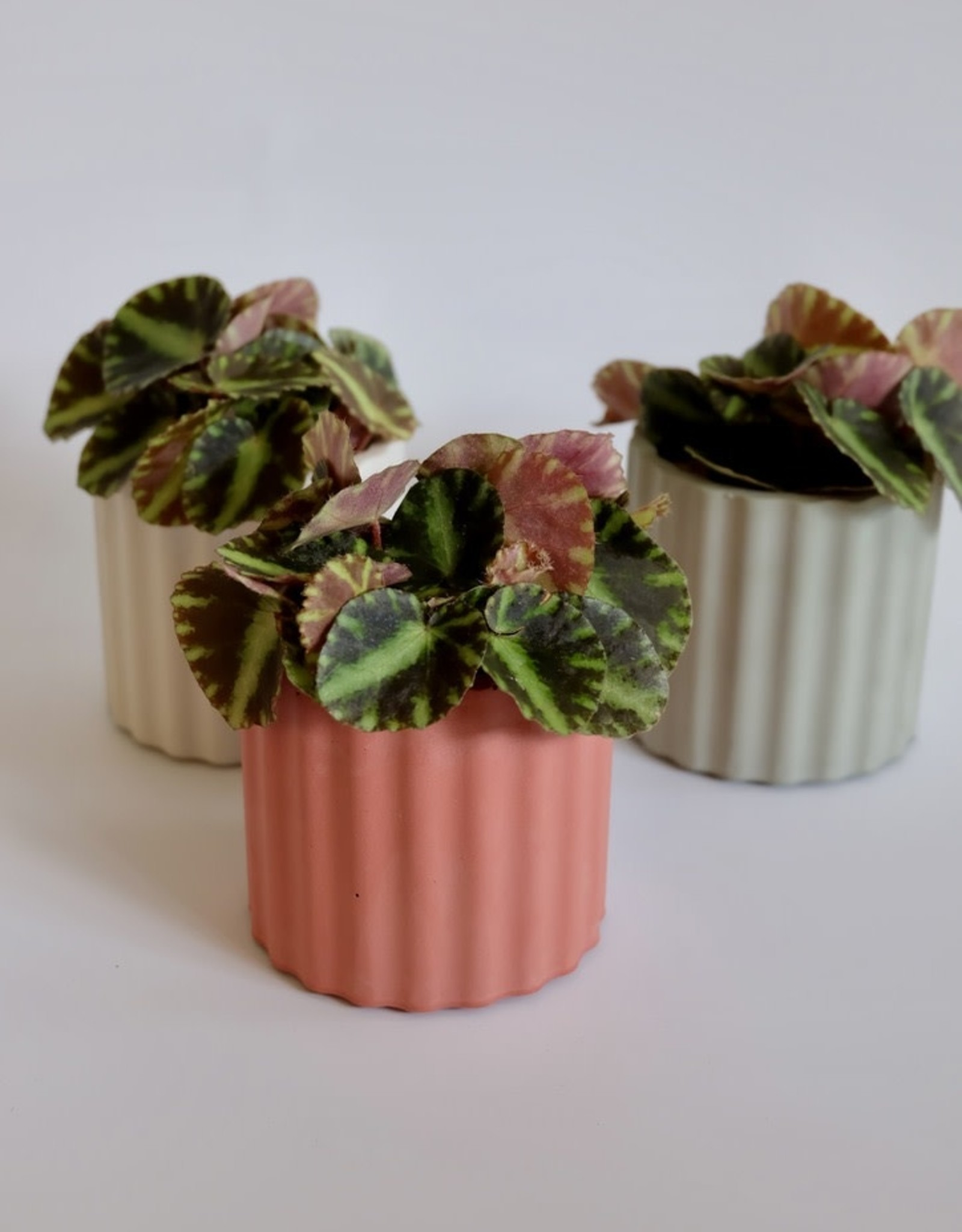 GRUUN Begonia 'Cleopatra' Ø5 h10