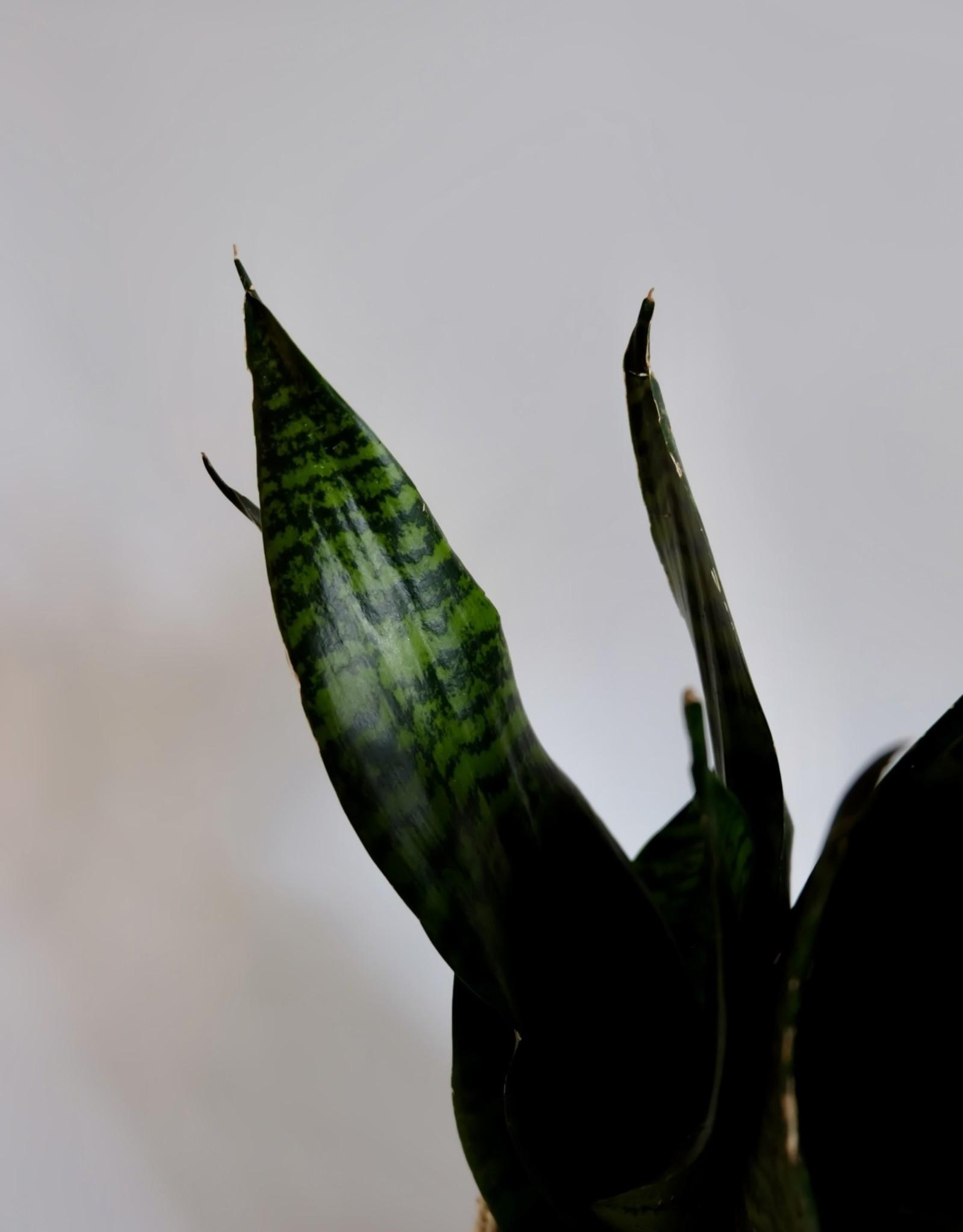 GRUUN Sansevieria trifasciata 'Super Green' Ø14 h45