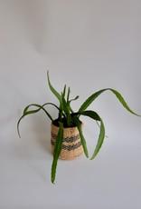 GRUUN Epiphyllum 'Red Tip' ∅12 h20