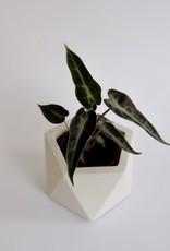 GRUUN Alocasia amazonica ∅5 h15