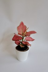 GRUUN Aglaonema Pink Star ∅12 h35