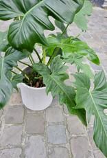 GRUUN Philodendron 'Green Dragon' ∅21 h60