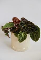 GRUUN Begonia 'Ferox' Ø13 h25