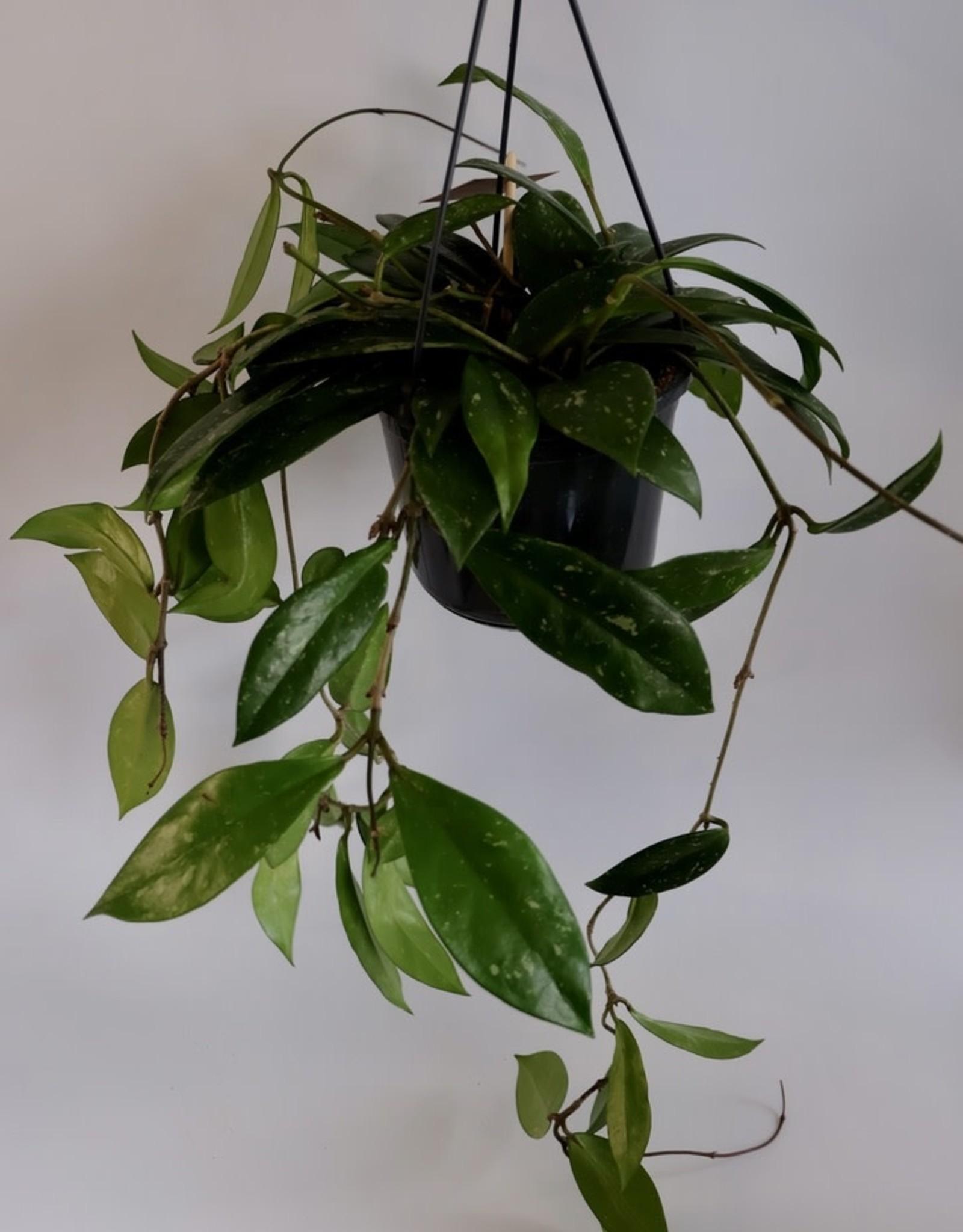 GRUUN Hoya shirley Ø15 h25 [hanging pot]