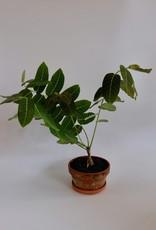 GRUUN Phyllanthus myrabilis Ø12 h30