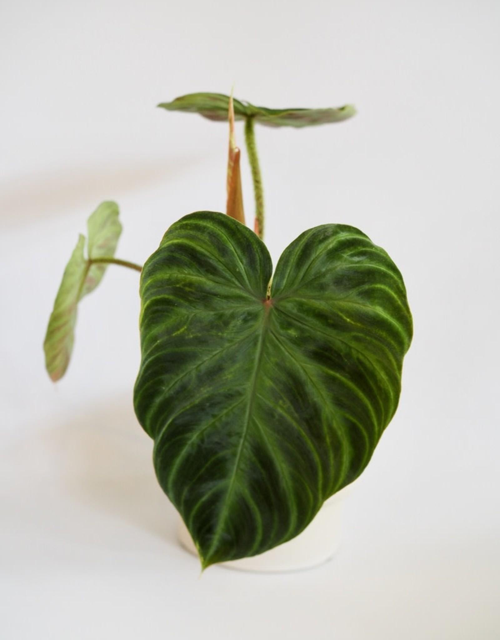 GRUUN Philodendron verrucosum Ø12 h30
