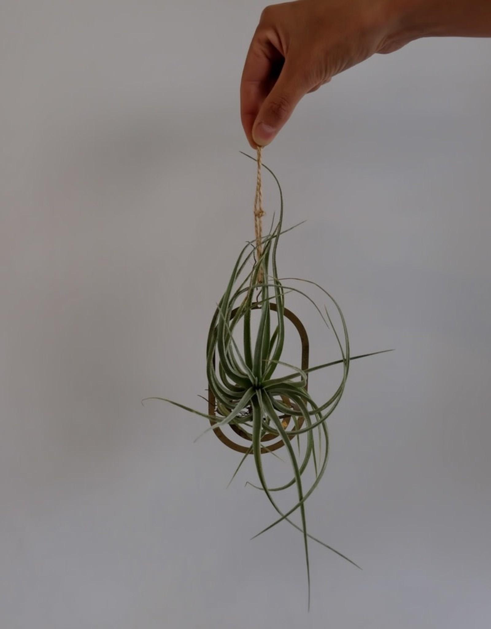 GRUUN Tillandsia Ionantha Silver [airplant]