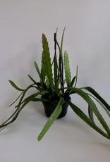 GRUUN Epiphyllum 'Red Tip' ∅14 h35 [hanging pot]