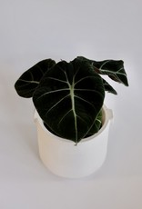GRUUN Alocasia reginula ('Black Velvet') Ø11 h35