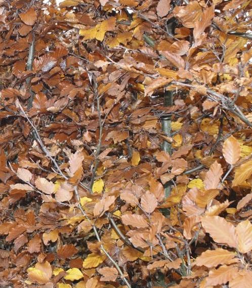 Bladhoudende leibomen