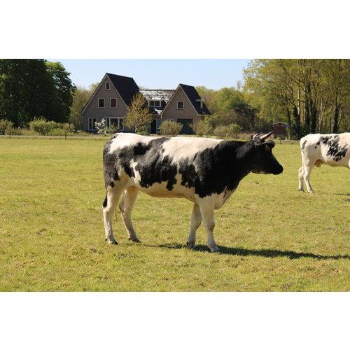 Rundvlees uit de regio Vastdeel/Hollandse biefstuk