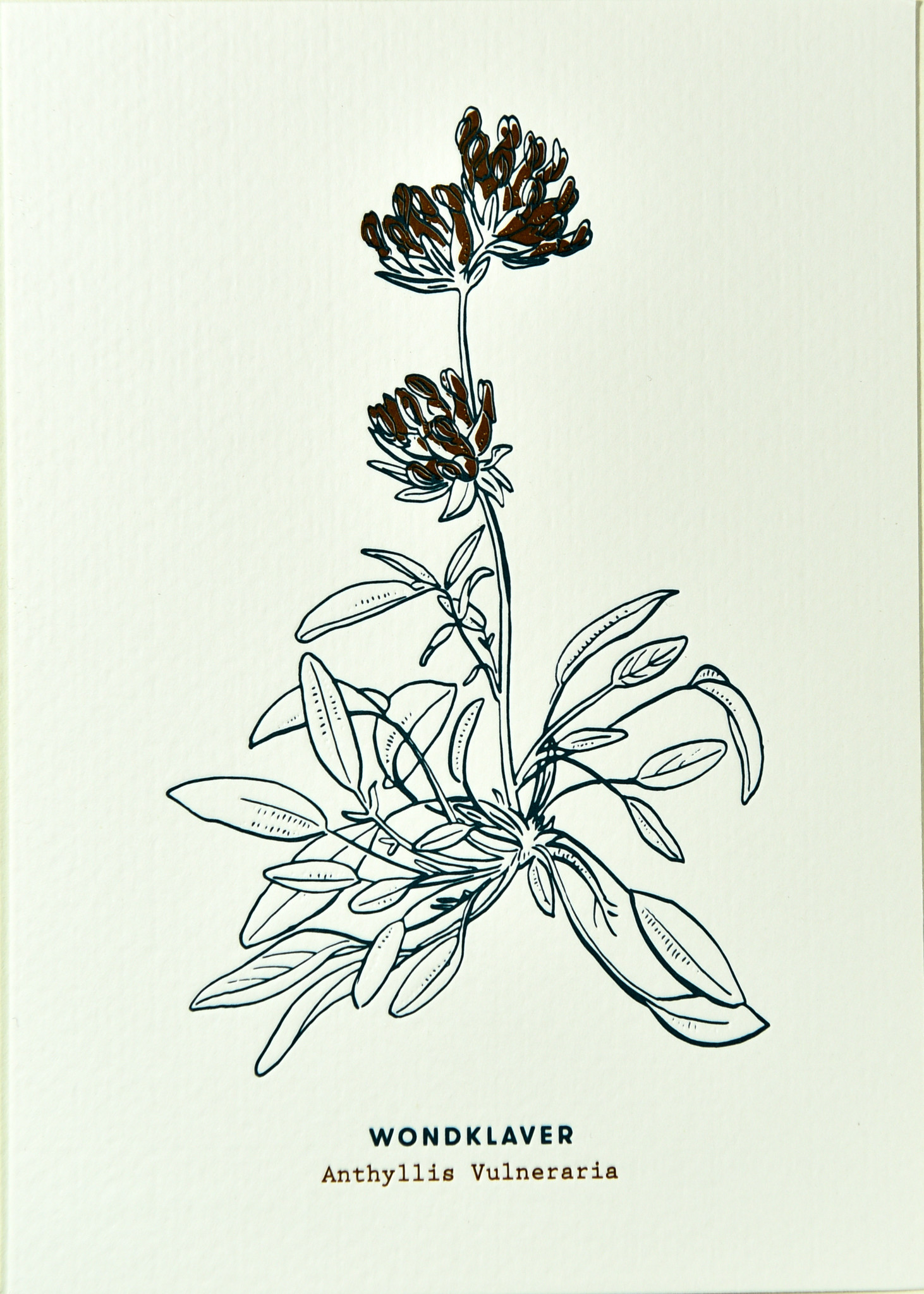 Blommm Luxury postcard Clover - Blommm