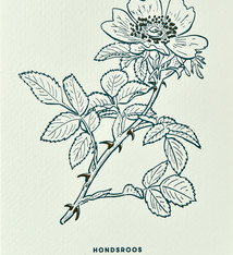 Blommm Luxury postcard Briar rose - Blommm
