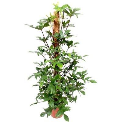 Philodendron 'Pedatum' 120cm