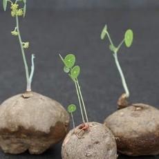 Stephania erecta Bulb Ø8cm