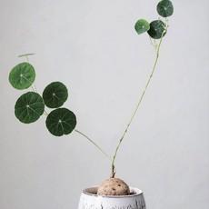 Stephania erecta Bulb Ø4cm
