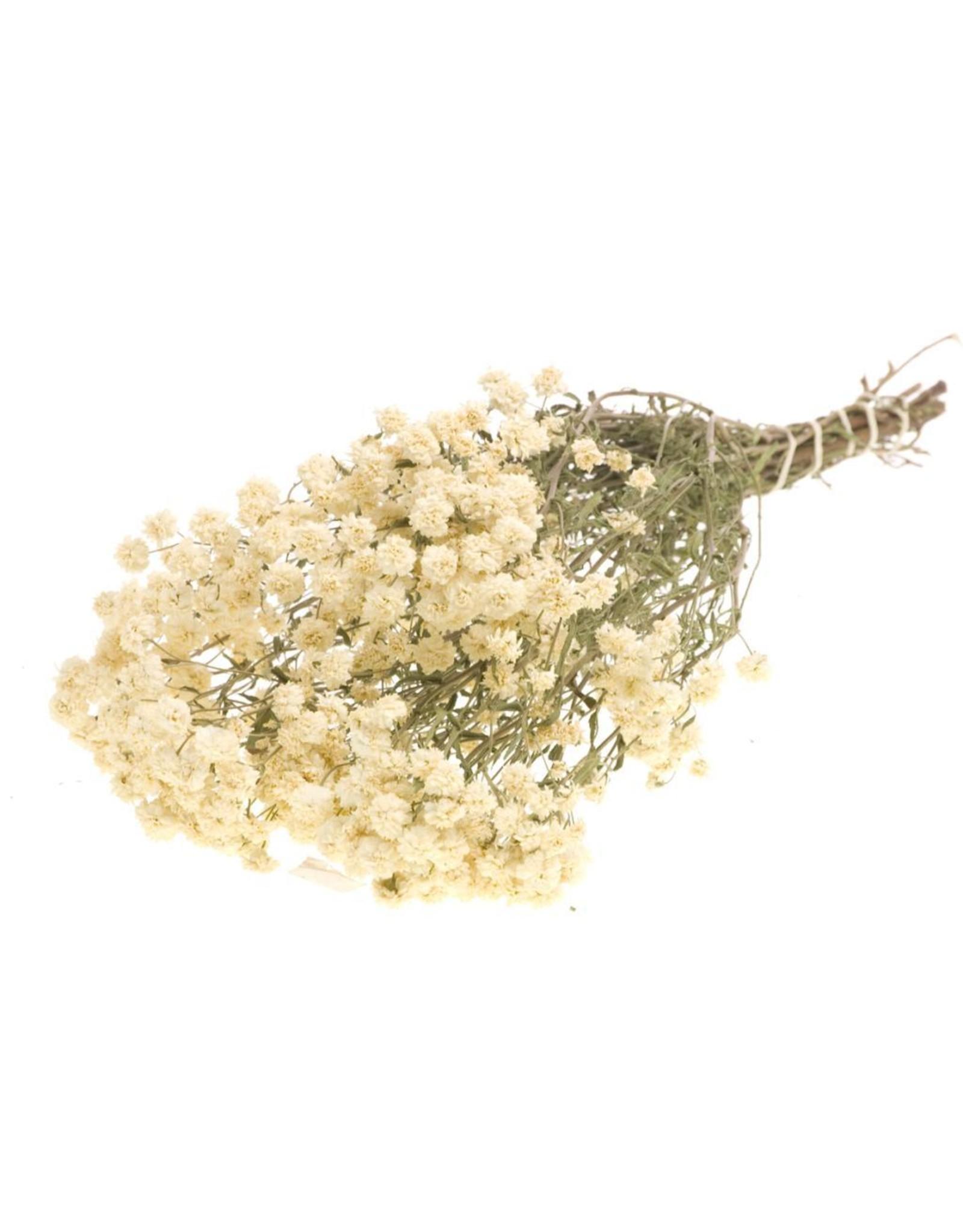 Achillea ptarmica SB natural white x 5