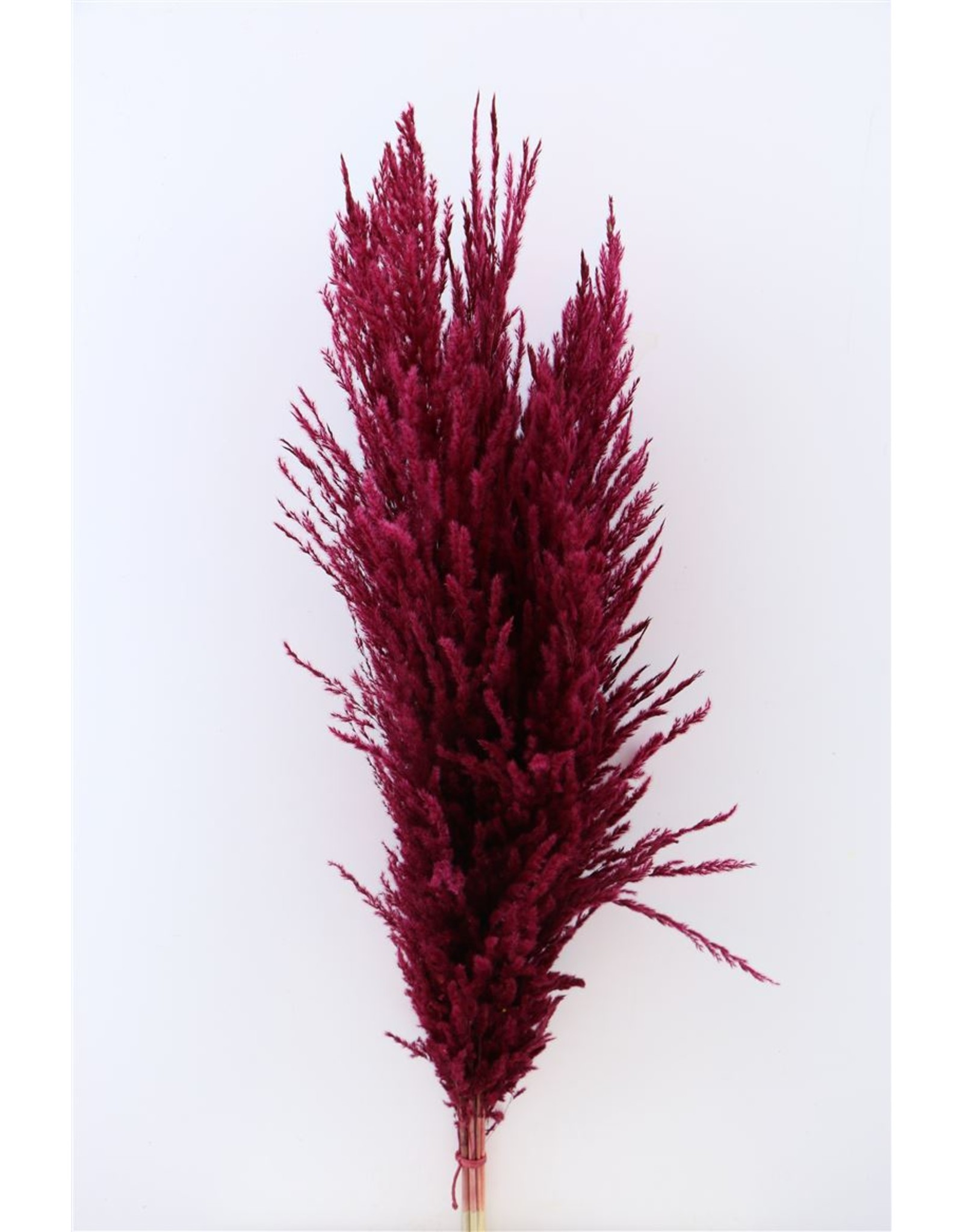 Dried Pampas Gras Bordeaux ( 8 Stems) Bunch x 1