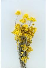 Dried Sanfordii Yellow Bunch x 2