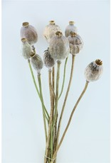 Dried Papaver Giant Bunch x 2