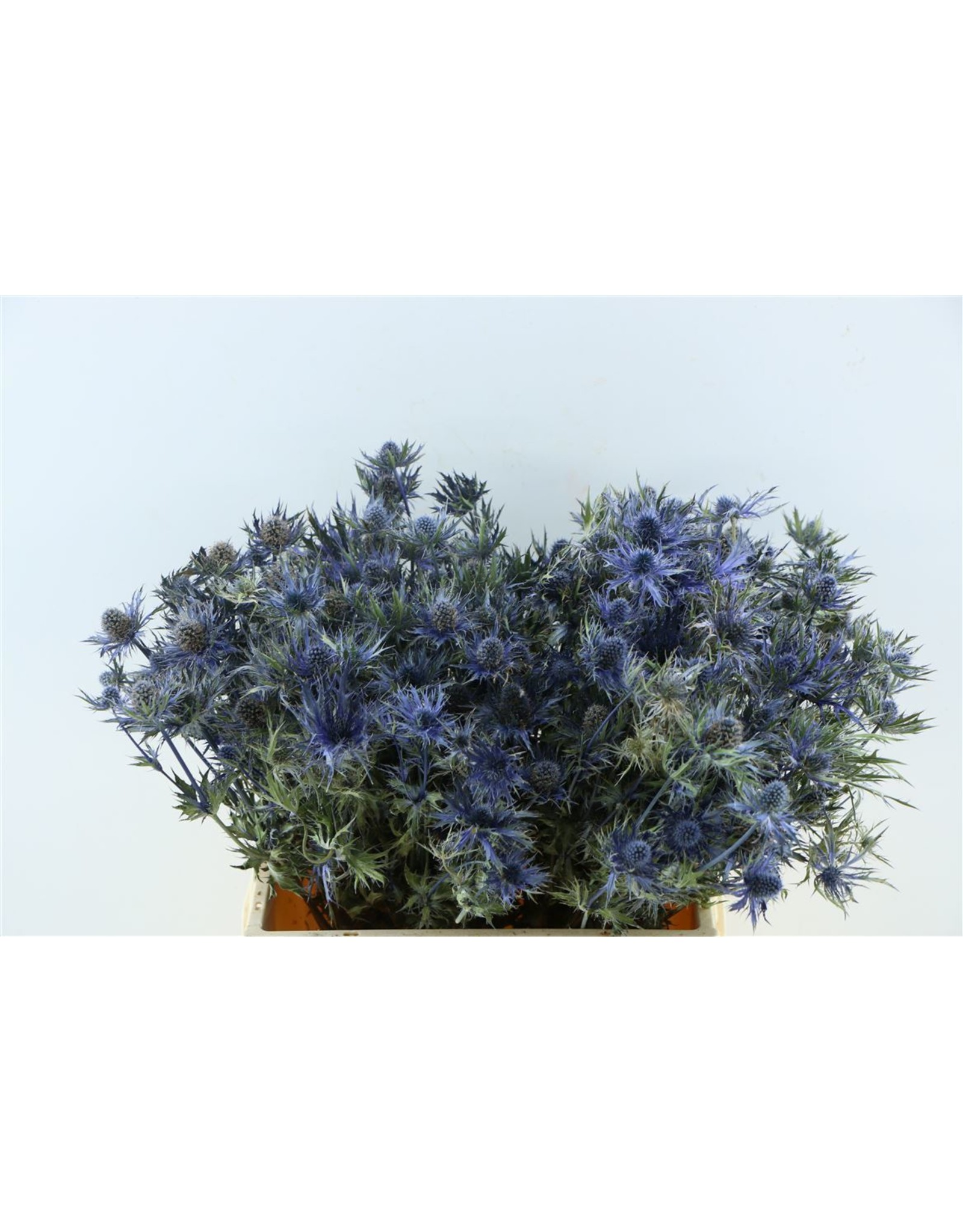 Dried Eryngium Blauw Kort Pbs x 2