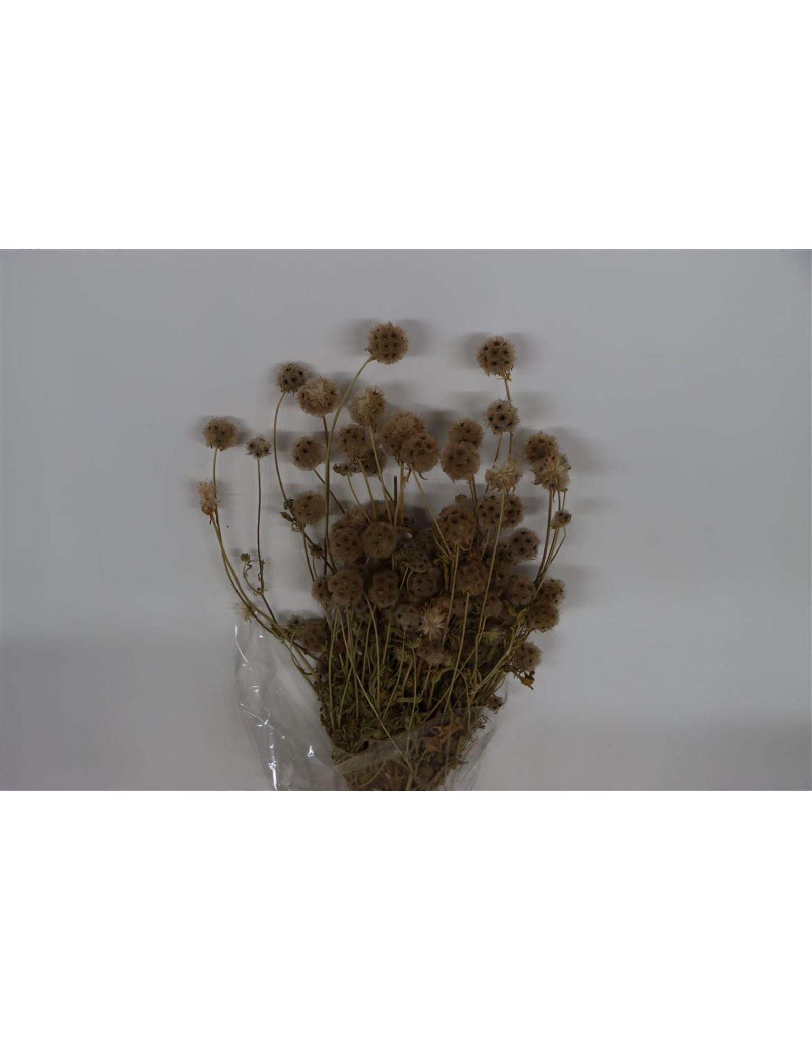 Dried Scabiosa Naturel Bunch x 5