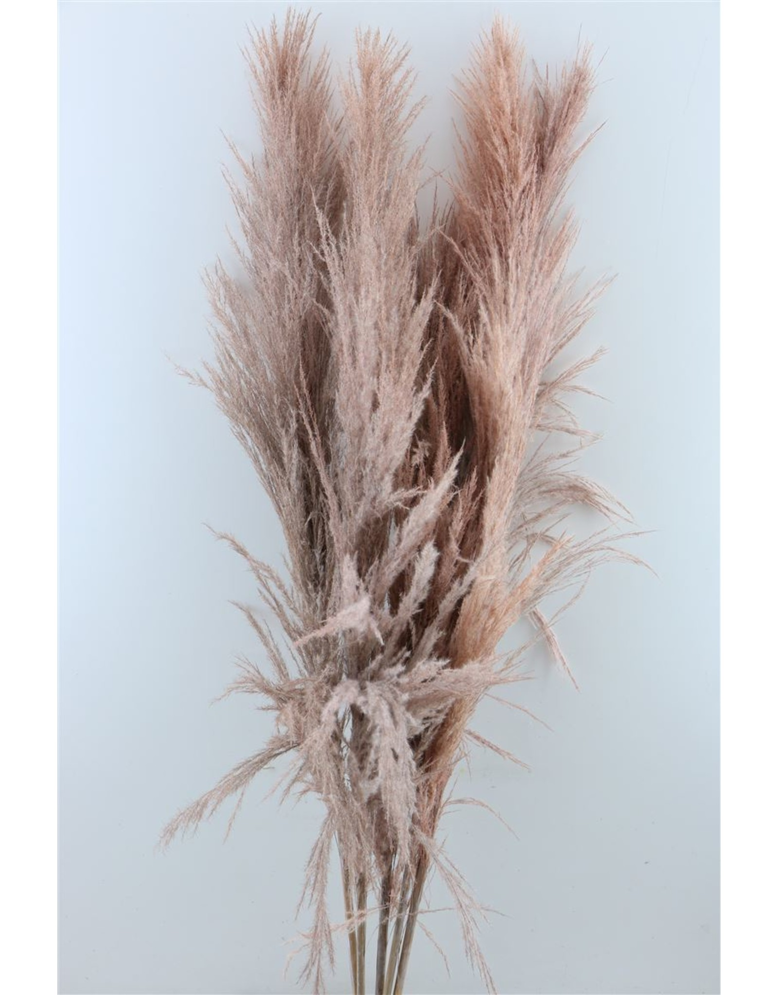 Dried Cortaderia Xxl Frosted Pink x 5