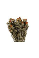 Carthamus Naturel Orange per bunch x 6
