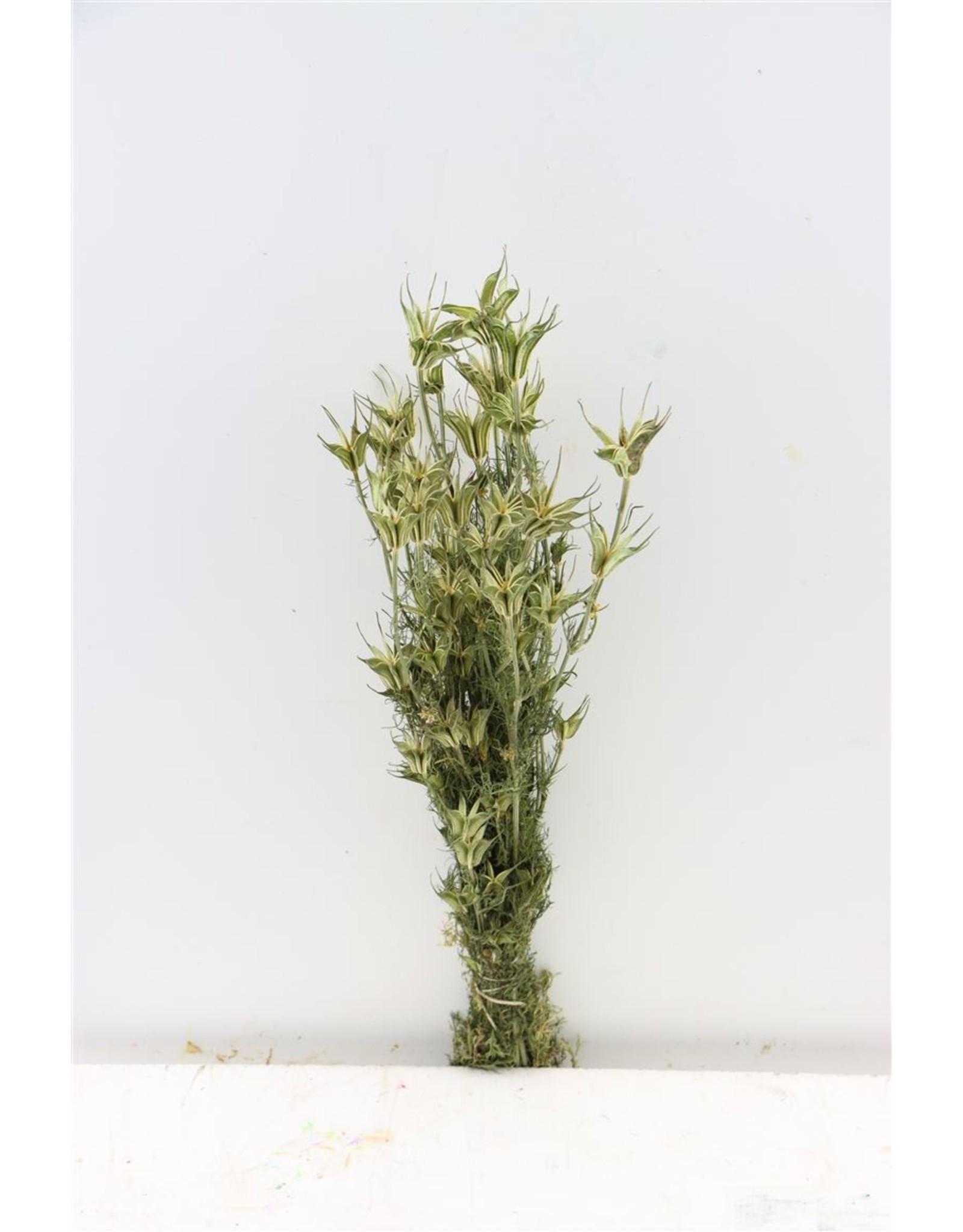 Dried Nigella Orientalis Bunch x 5