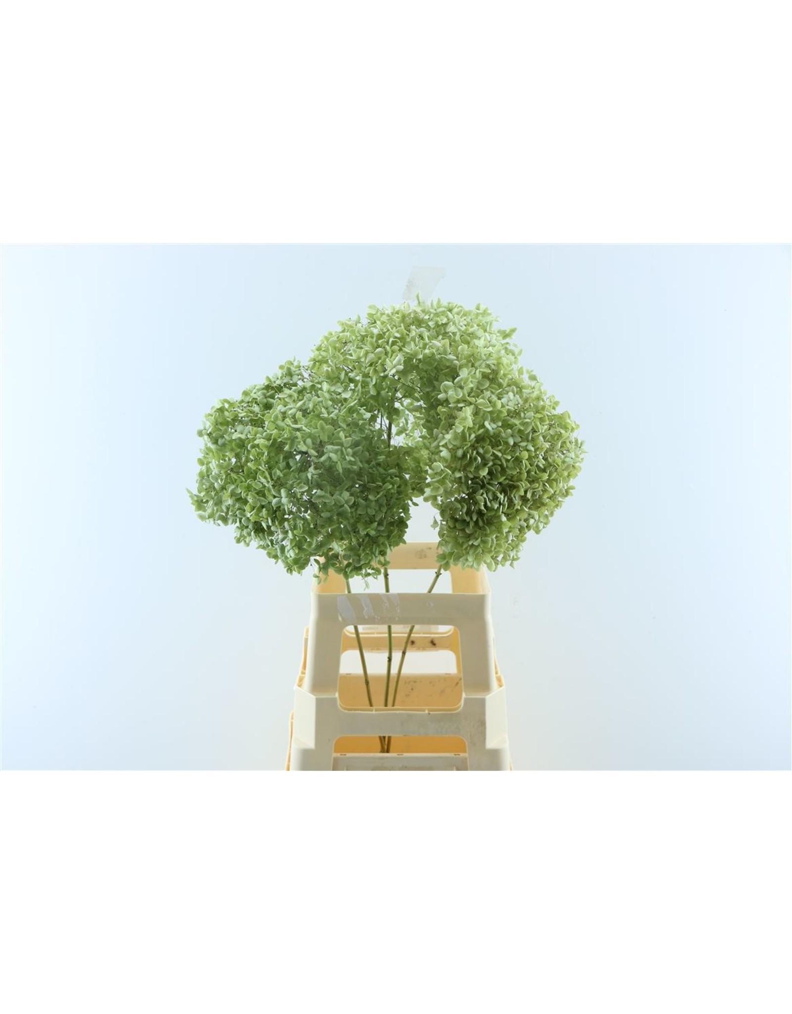 Dried Hydrangea Nat. Green 50cm P. Stem x 2