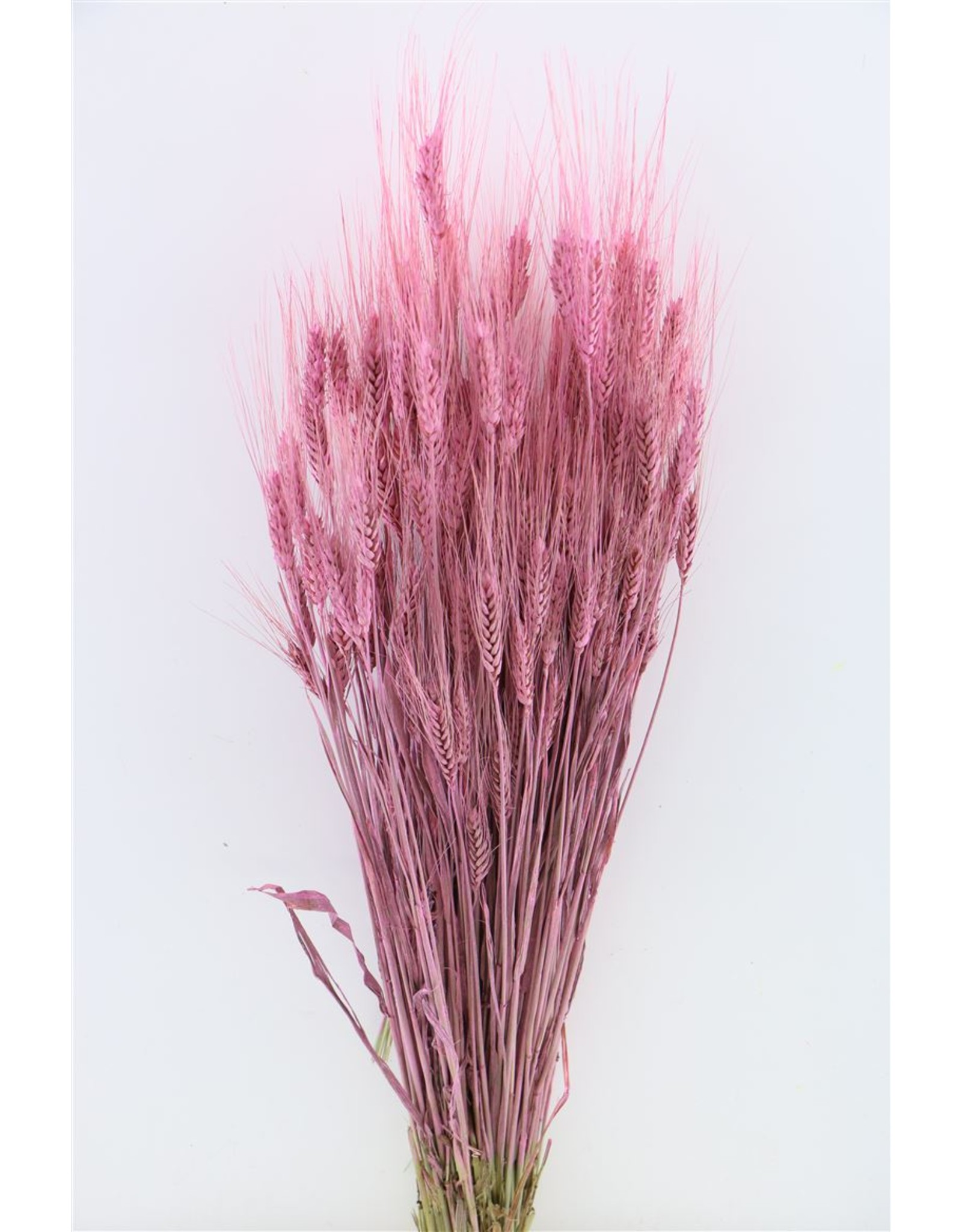 Dried Triticale Frosted Pink Bunch x 2