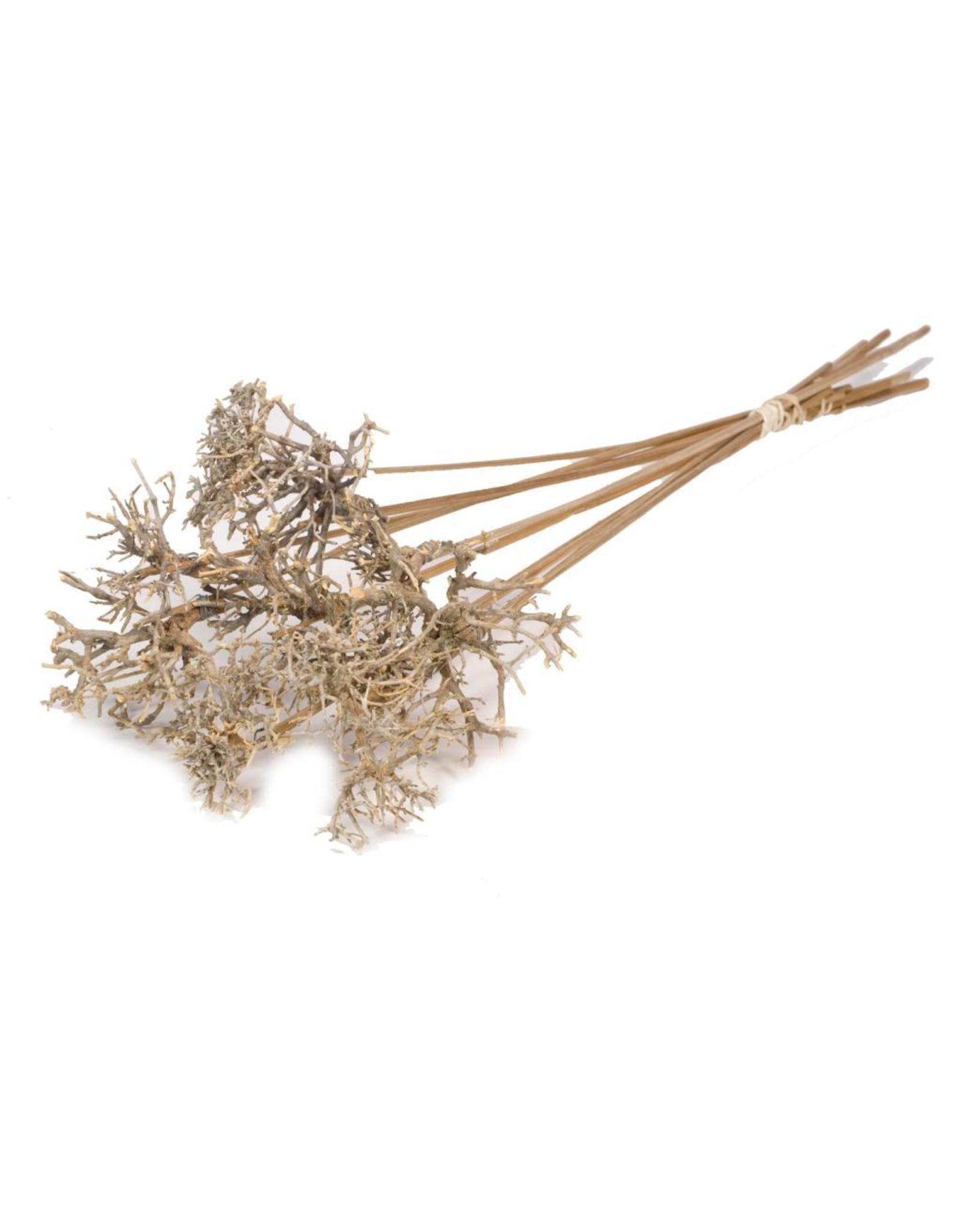 Drytree on stem 10pc SB natural x 2