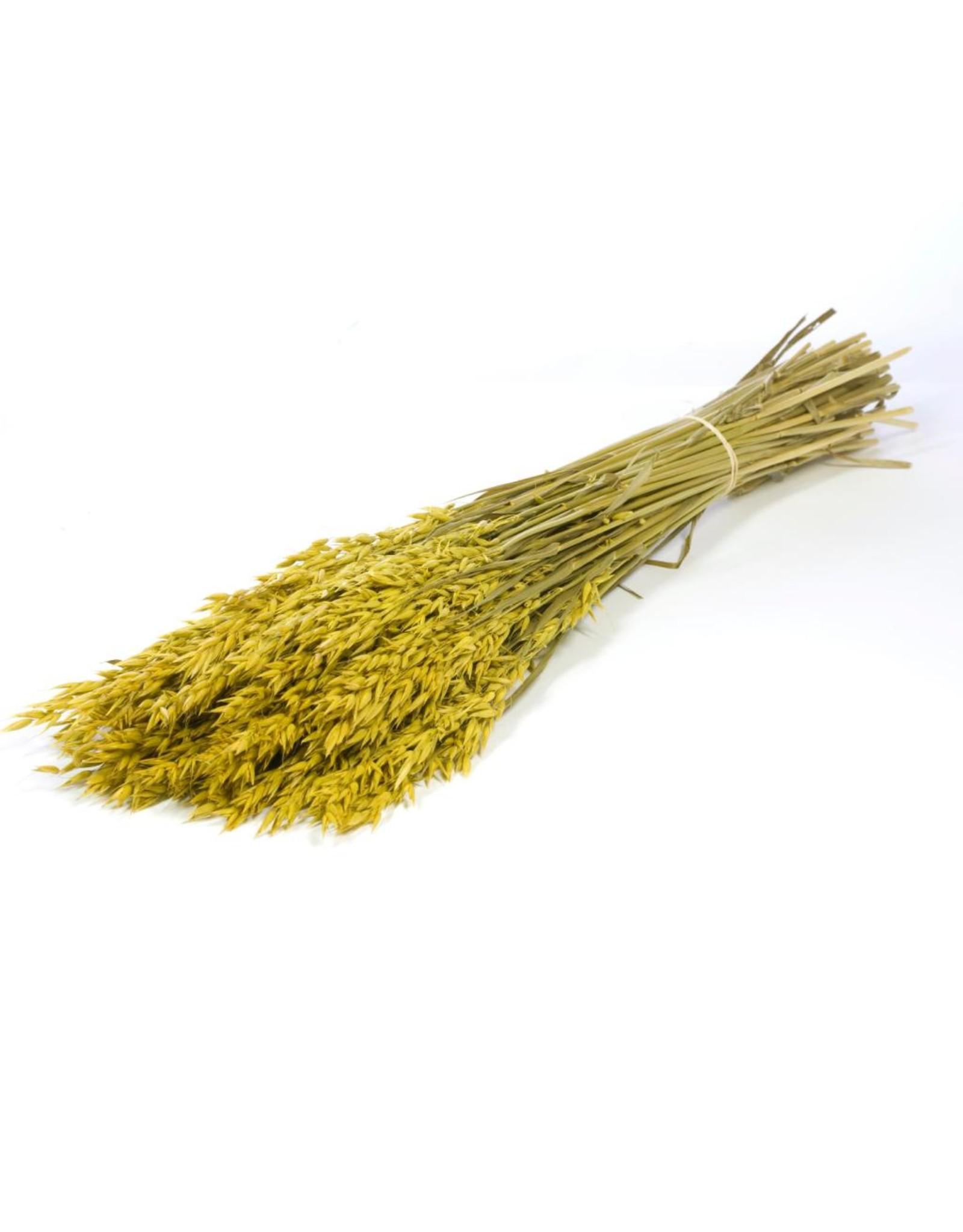 Haver (avena) yellow x 25