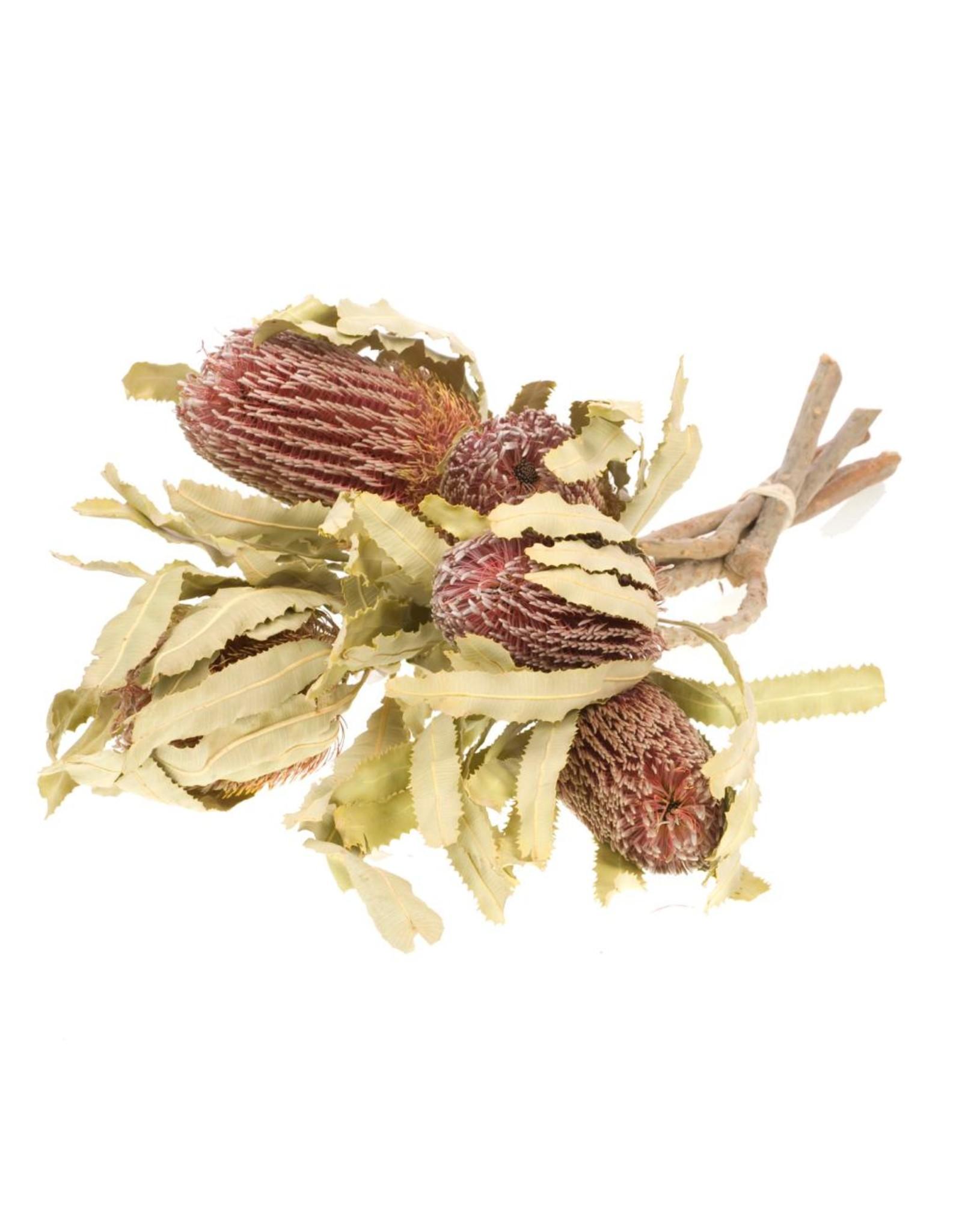 Banksia menziesii natural x 8