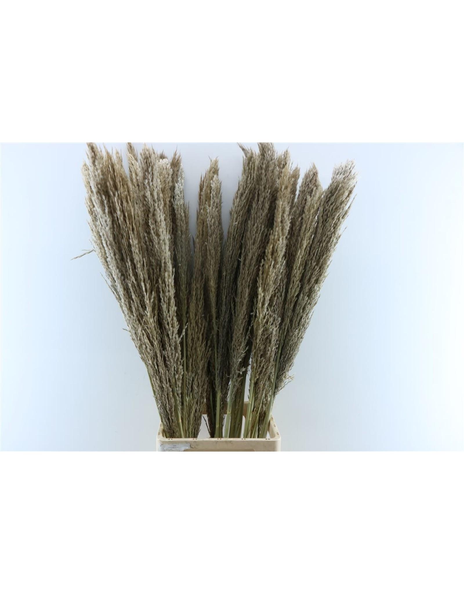 Dried Arundo 110cm Bunch 5 Stems x 5