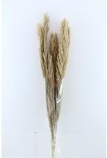 Dried Cane Arundo Long Natural P. Stem x 10