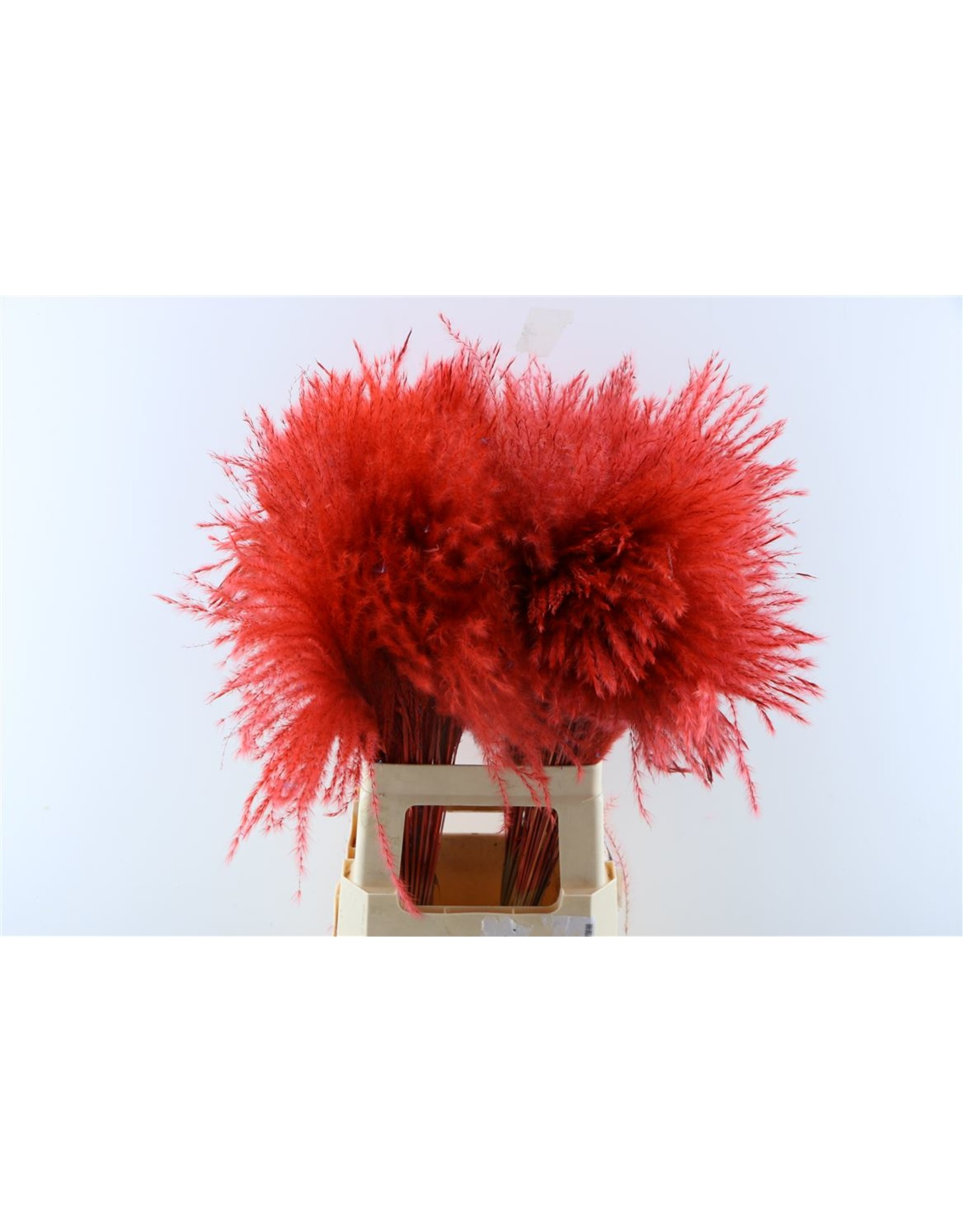 Dried Stipa Feather Rood P Stem x 50