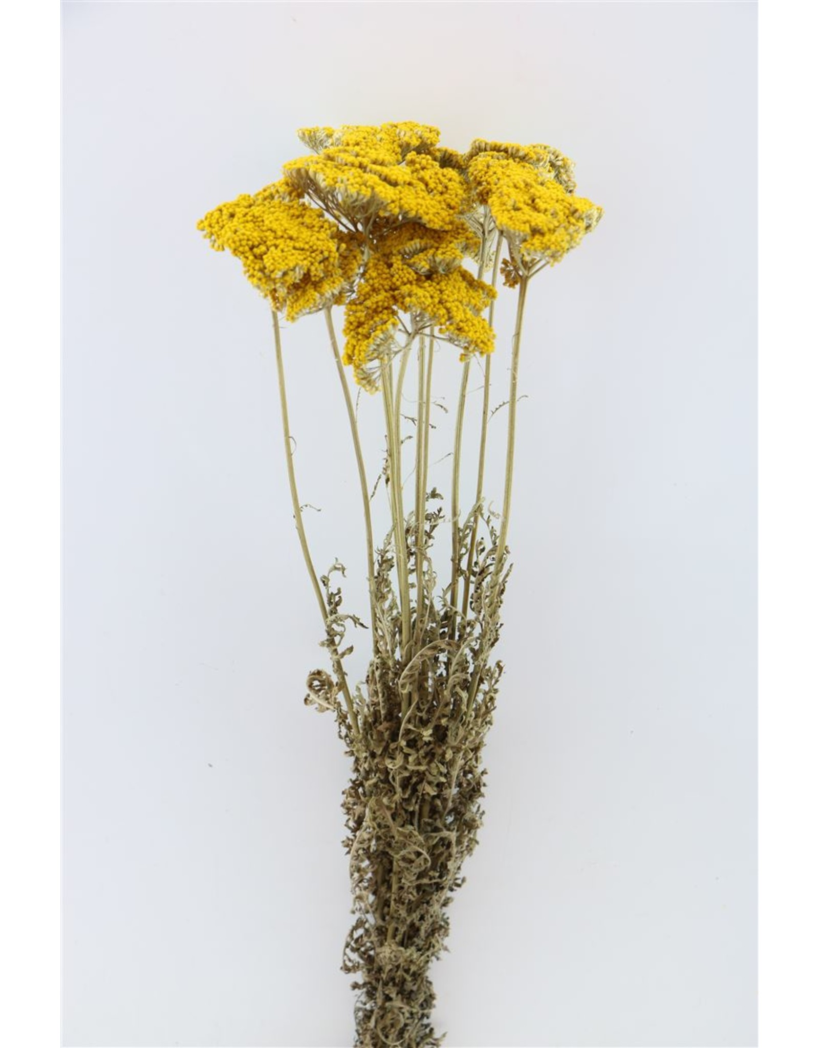 Dried Achillea Parker Natural Bunch x 5
