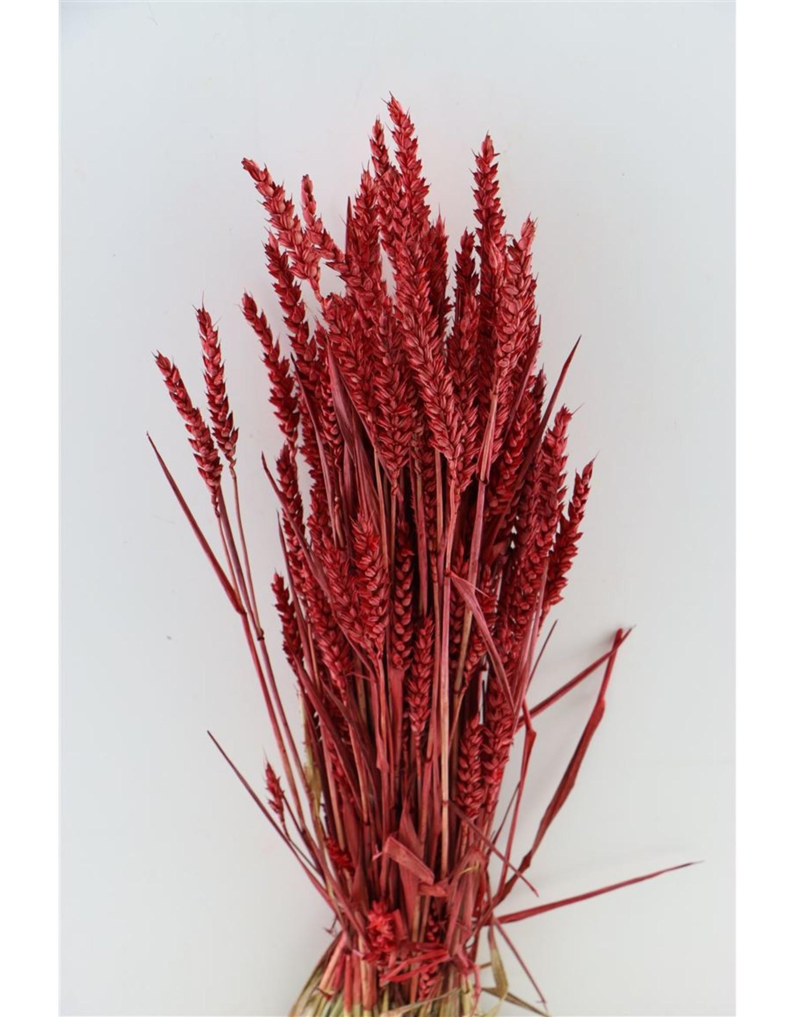 Dried Triticum Red Bunch x 2