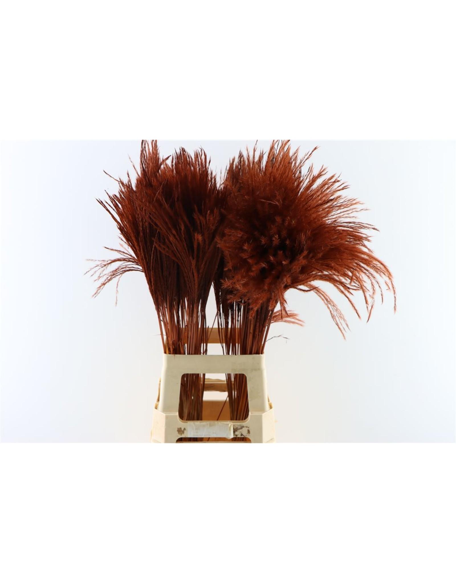 Dried Stipa Feather Choco P Stem x 50