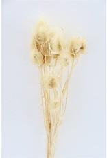 Dried Cardi Stella Bleached Pbs x 3
