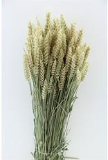 Dried Triticum (tarwe) Natural x 5