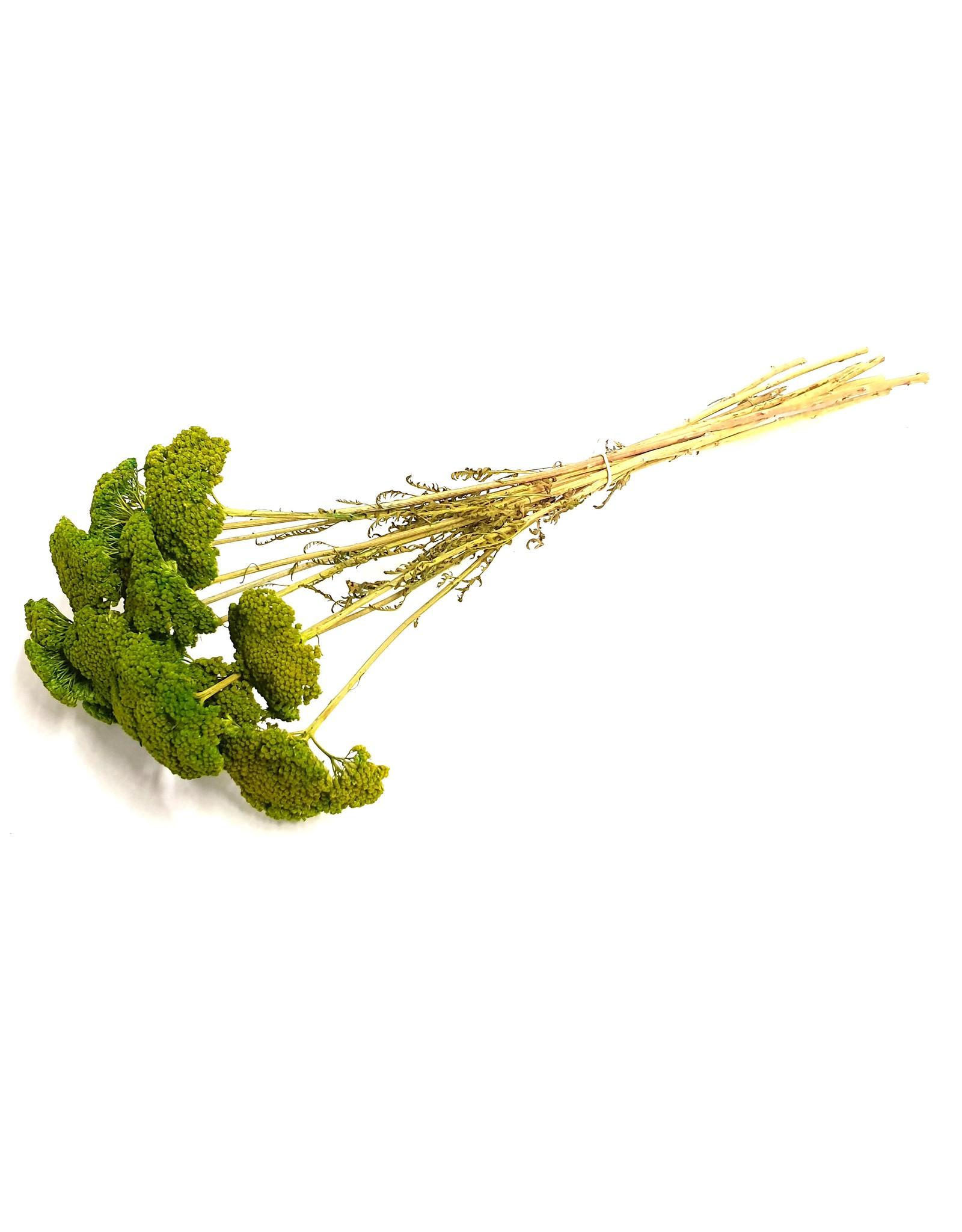 Achillea per stem Light Green x 100