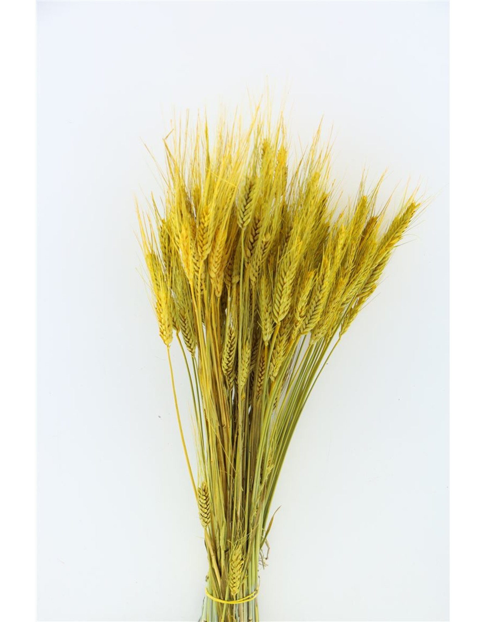 Dried Triticale Yellow Bunch x 2