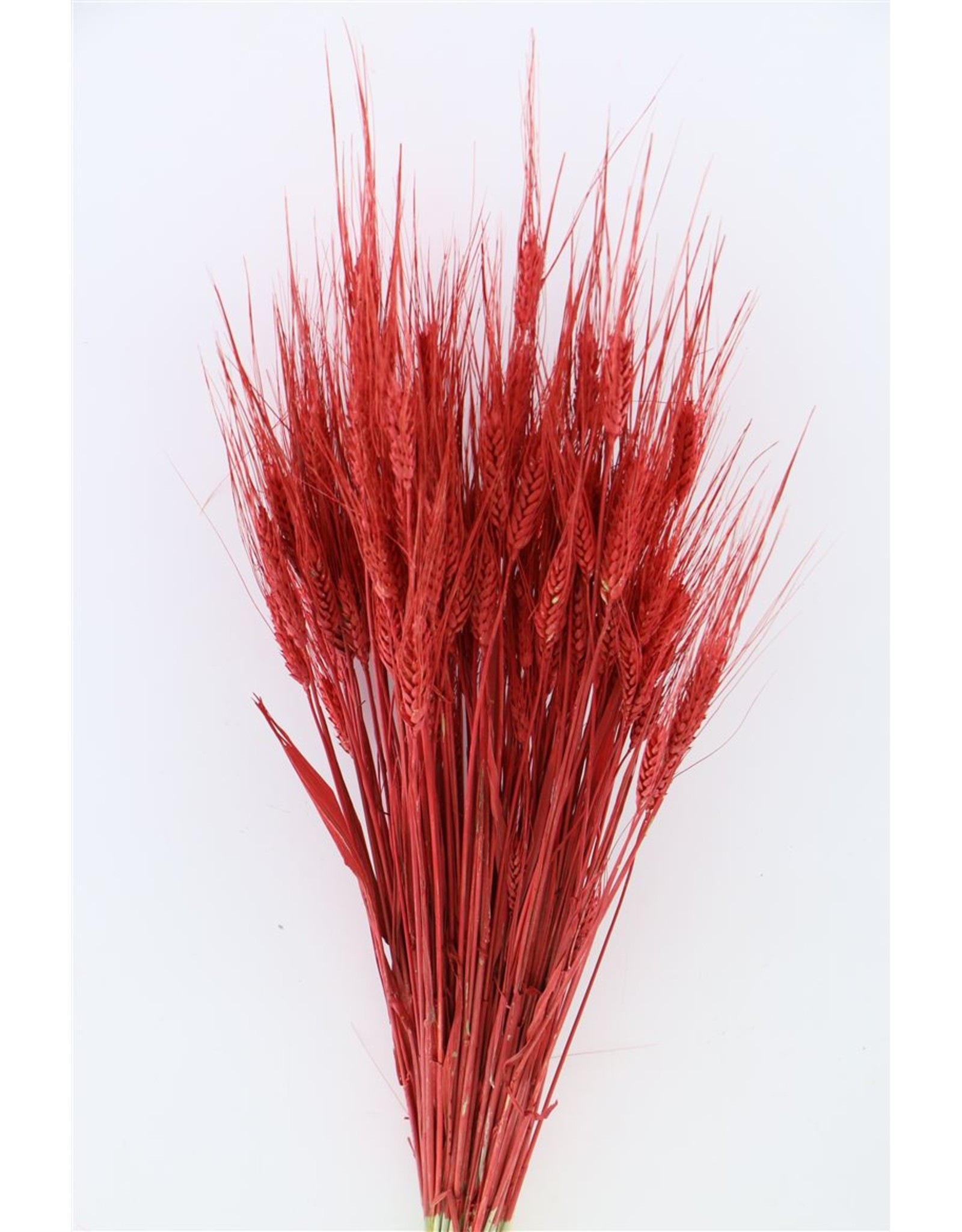 Dried Triticale Red Bunch x 2