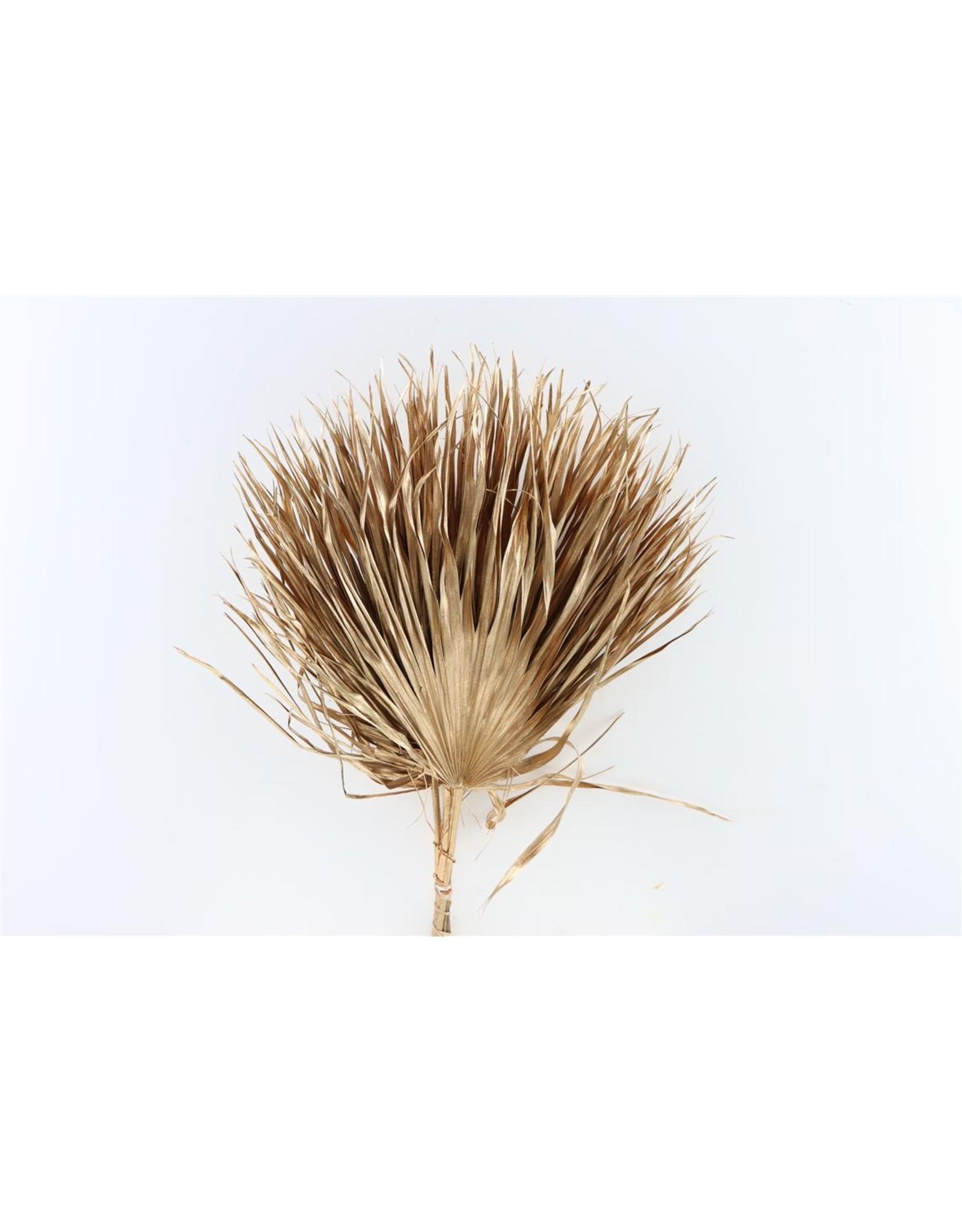 Dried Chamaerops (10tk) Oud Goud Bunch x 1