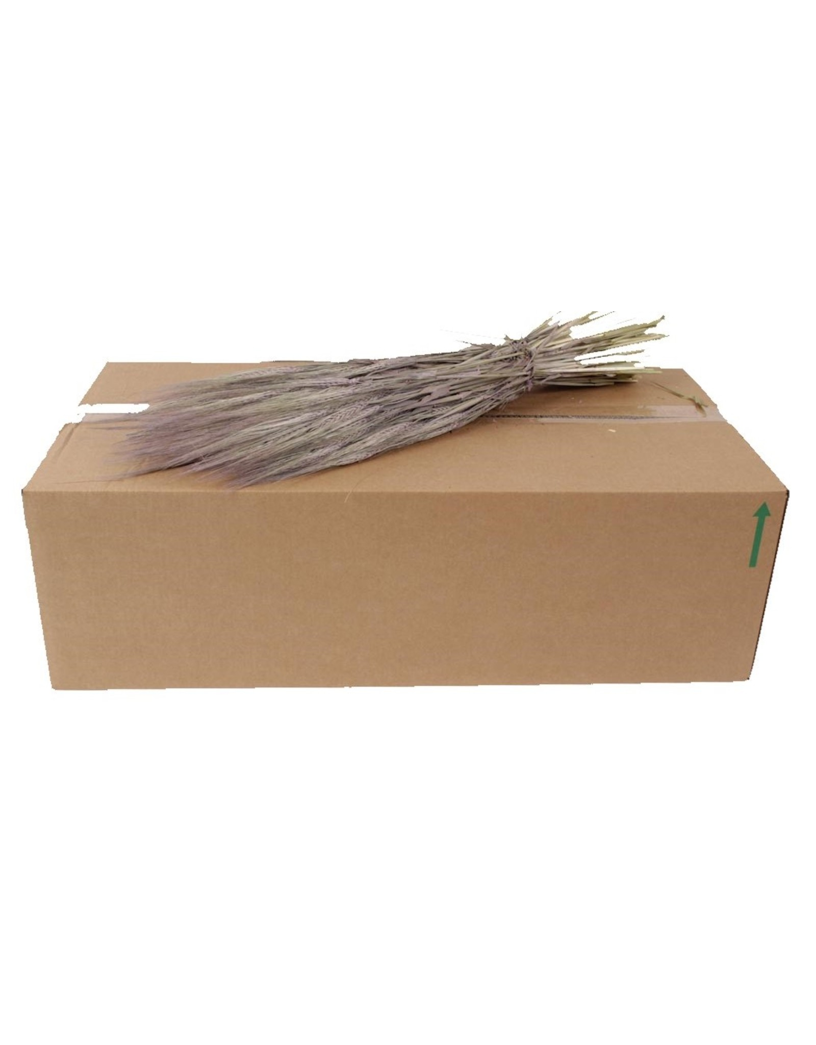 Hordeum per bunch Frosted Milka x 25
